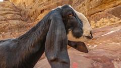 Goat in Petra