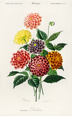 Dahlia illustrated by Charles Dessalines D' Orbigny (1806-1876). Digitally enhanced from our own 1892 edition of Dictionnaire Universel D'histoire Naturelle.