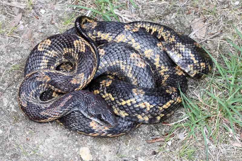 Pantherophis obsoleta (Texas Ratsnake)   TEXAS: Uvalde Count