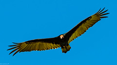 (Junk Crow) Turkey Vulture , Runaway Bay Jamaica.