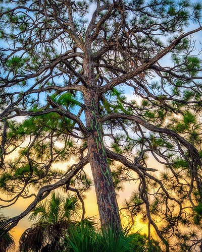 instagram ifttt pinetree naturephotography nature florida sunset sky clouds colorful pine