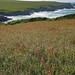 Cornwall_PollyJoke_Poppies5