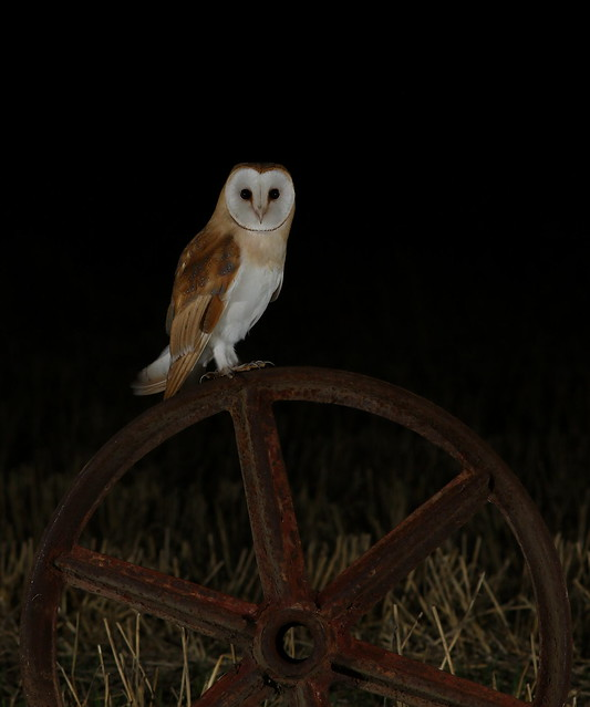 Barn Owl, Canon EOS 7D MARK II, Canon EF 200mm f/2.8L II