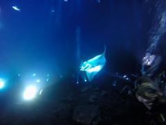 Manta diving Big island, Hawaii
