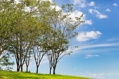 Beautiful sunny day (Tree Backgrond) - A row of trees on green grasses field against blue sky with some clouds.
