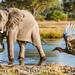 The Elephant and the hornbill
