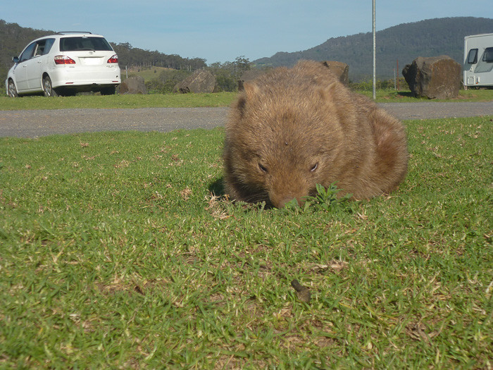 Wombat and camp
