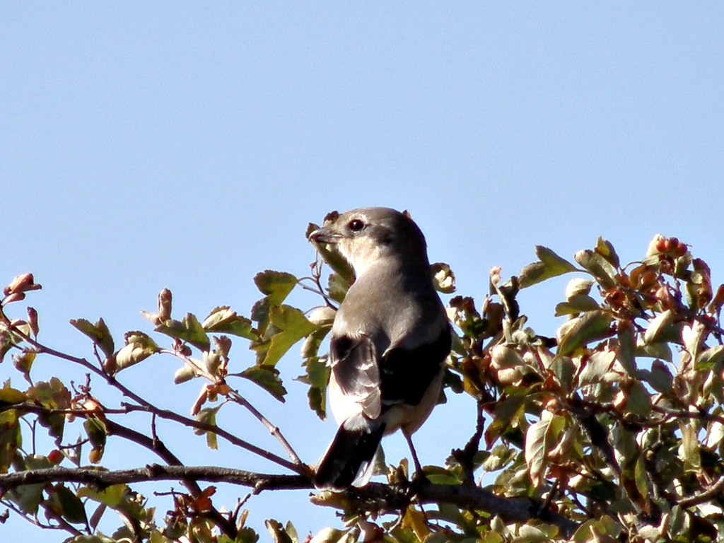 PA106363...Northern Shrike