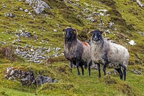 Mountain sheep. Ballinacarrow Co. Sligo.