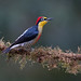 Yellow-fronted Woodpecker by Yamil Saenz