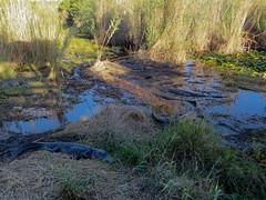 20170211 72 Alligators, Everglades National Park-2