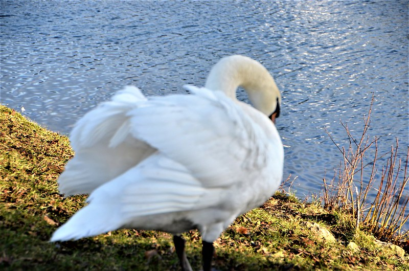 Swans 26.01 (6)
