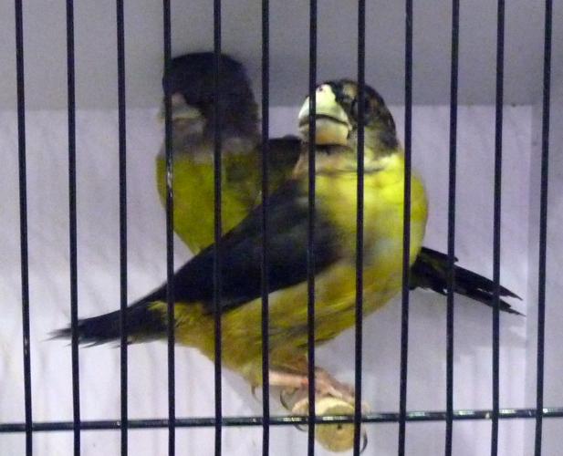 Coccothraustes affinis 46396363561_73e7b32332_o
