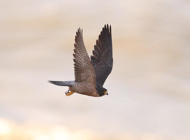 Peregrine falcon take off, Canon EOS-1D X MARK II, Canon EF 600mm f/4.0L IS II USM
