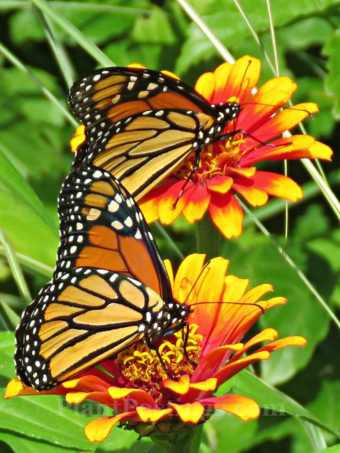 monarchs on zinnias