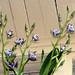 underneath Zygopetalum maculatum species orchid 11-18