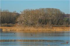 Etang (lac) de Marcenay (cormoran)