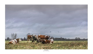 Cows in the floodplain | by zoomleeuwtje