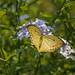 emperor yellow buterfly por ikarusmedia