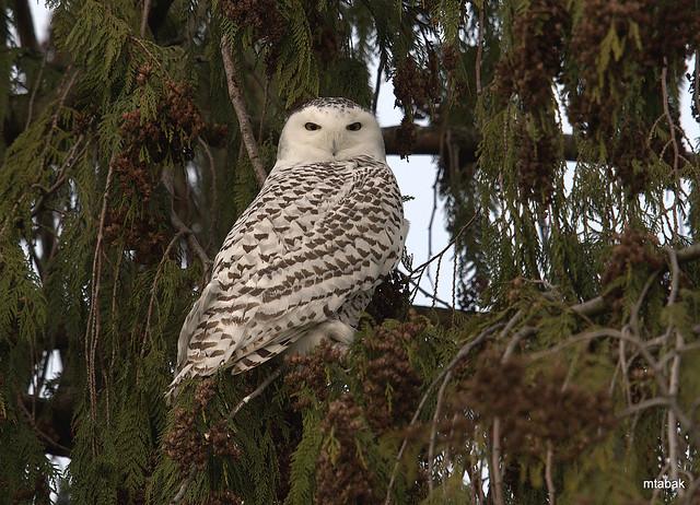 Snowy Owl, Nikon D4, AF-S VR Nikkor 600mm f/4G ED
