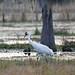 Whooping Crane by work4u