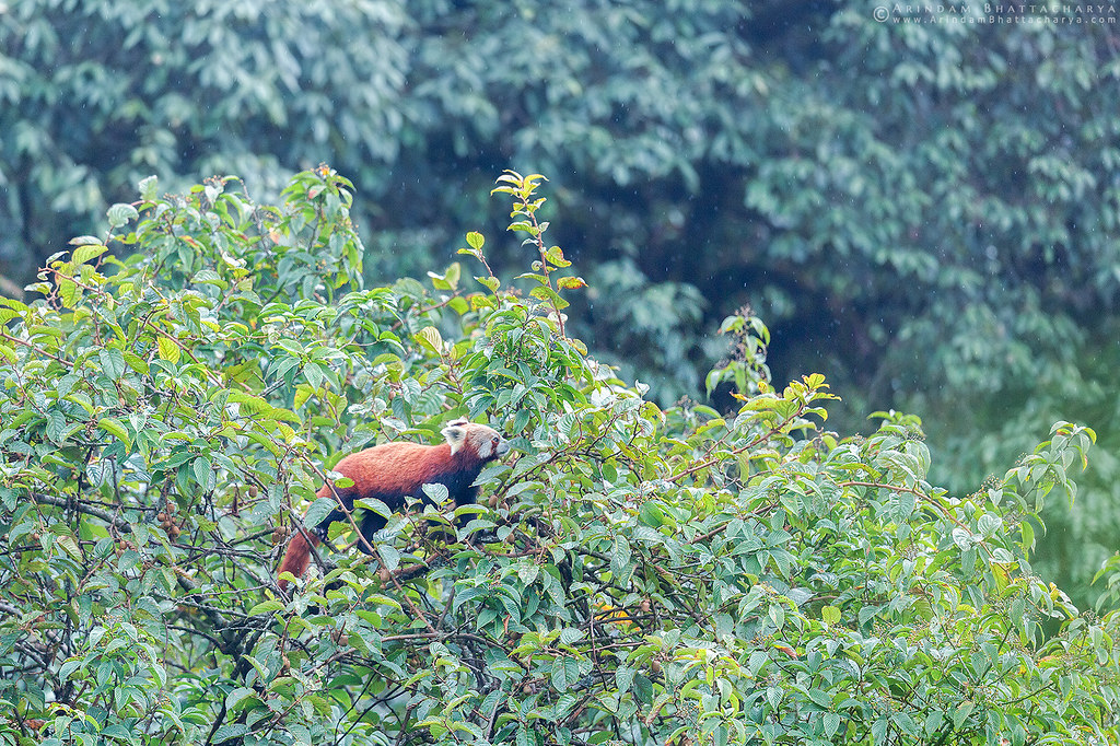 Endangered Red Panda or Ailurus fulgens feeding on the fruits in Singalila National Park, Himalaya.
