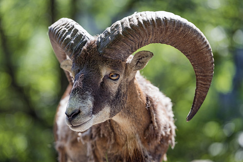 Nice portrait of a male mouflon
