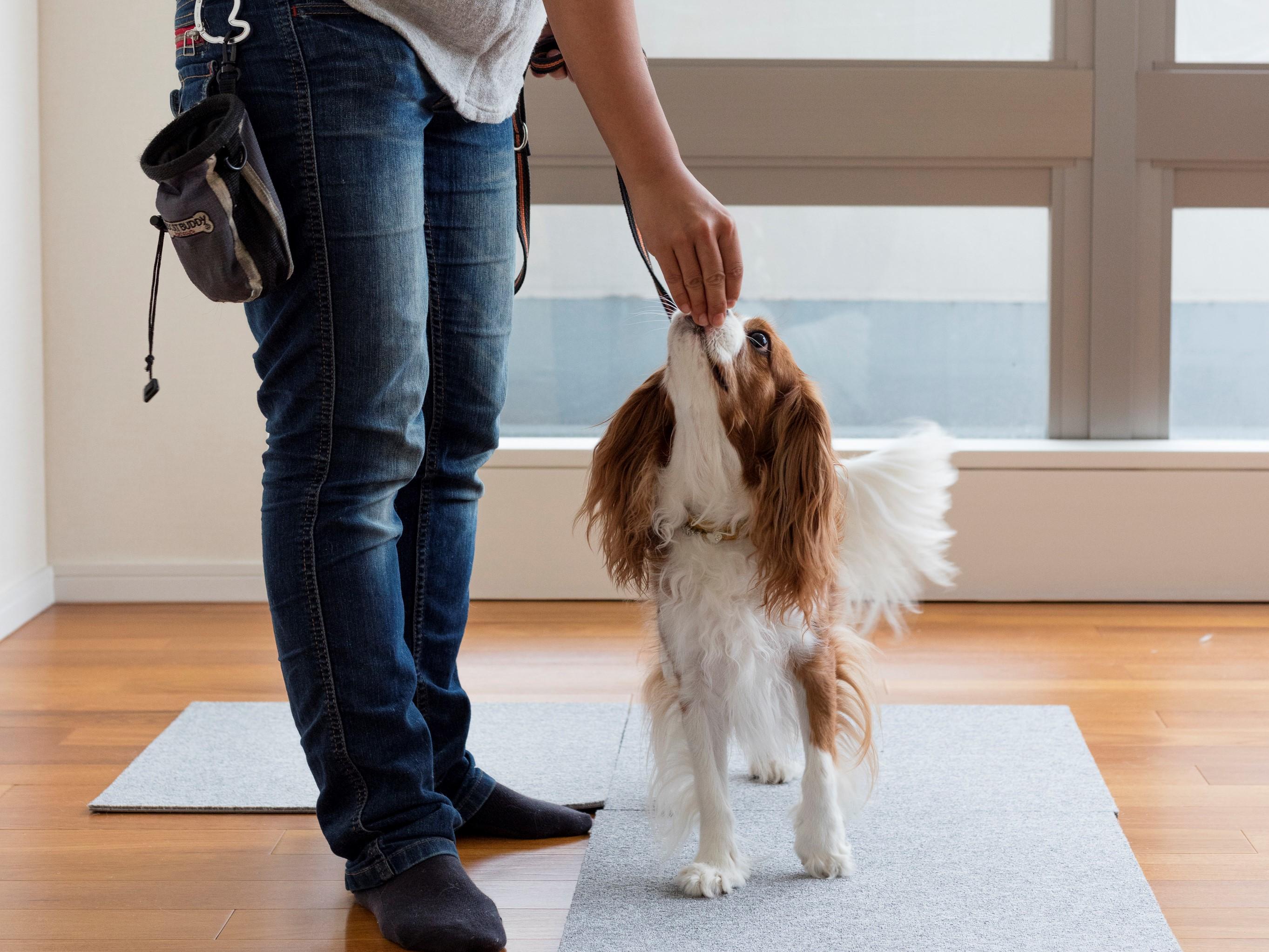 拾い食いをしないように家で散歩の練習をする犬