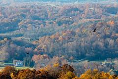 Turkey vultures in Berkeley County, W.Va.