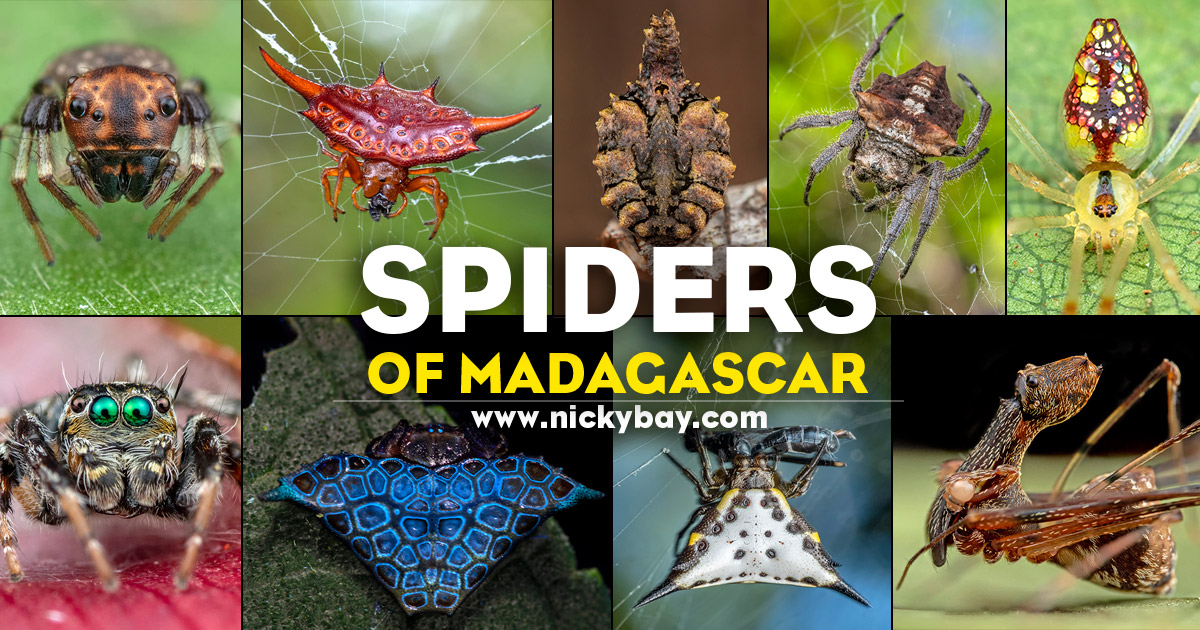 Spiders of Madagascar