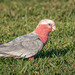 GALAH... Red Breasted Cockatoo... by Beckett_1066