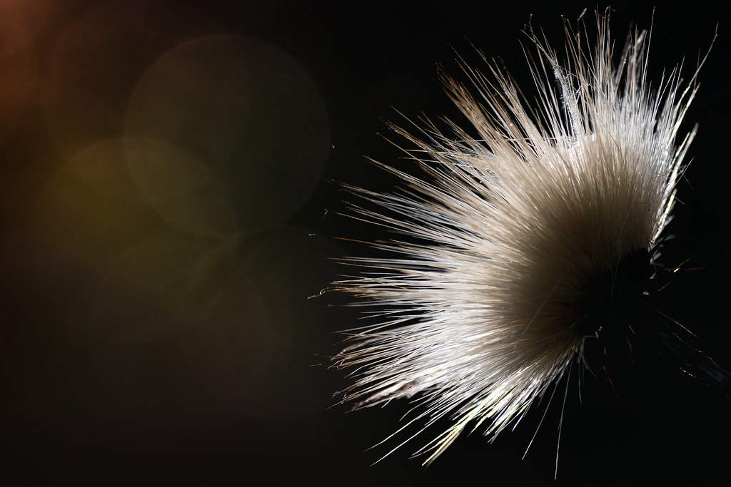 Backlit Thistle In Seed