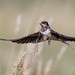 Barn swallow by JS_71