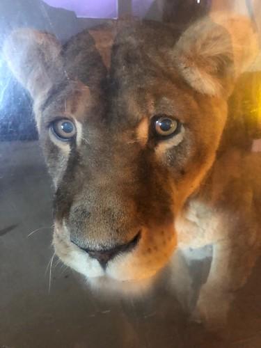 Clea 23 ans👍on l'a découverte bébé la grand-mère lionne