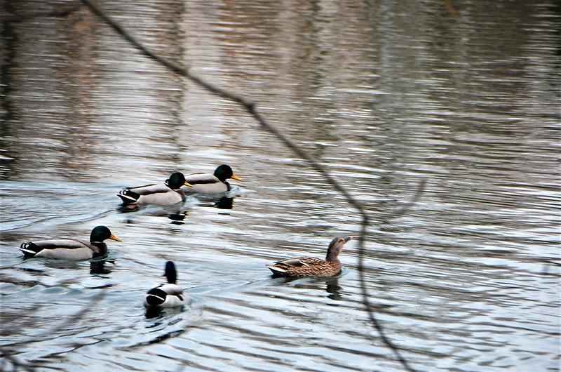 Ducks 06.12 (1)