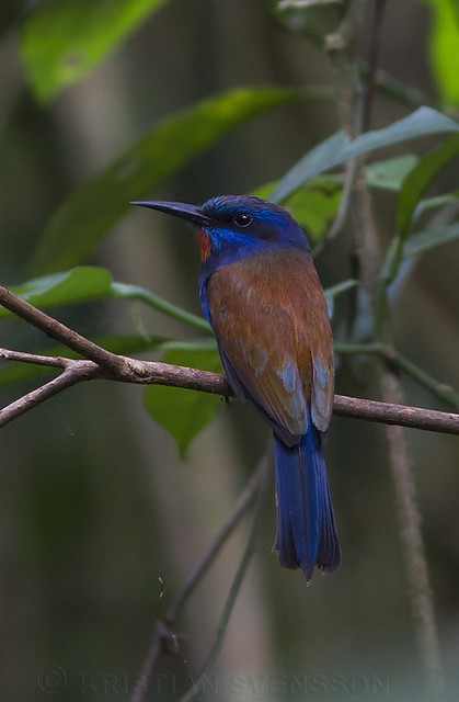 Blue-moustached Bee-eater (merops mentalis)