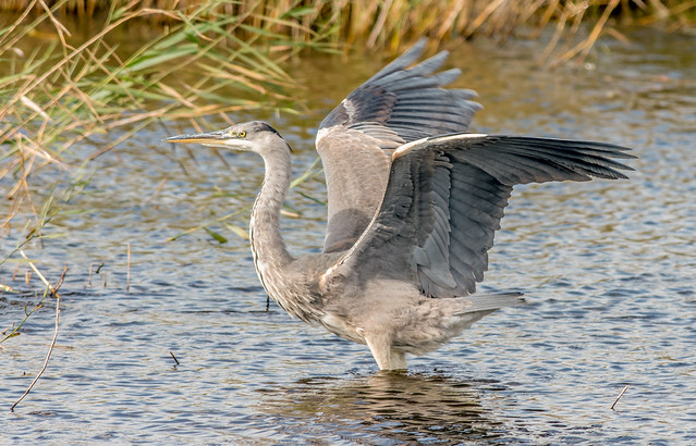 JWL8399  Grey Heron..