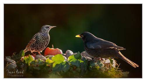Starling Blackbird2-04.01.19_54I2800-Pano