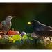 Starling Blackbird2-04.01.19_54I2800-Pano by Jayne Bond