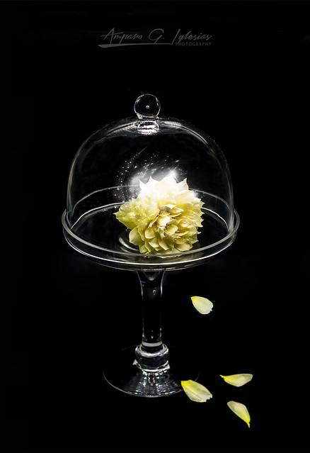 La rosa amarilla - Amparo García Iglesais