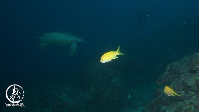 深場にいると早速アオウミガメさんが。。