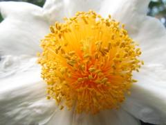 Camellia in Koishikawa Botanical Garden
