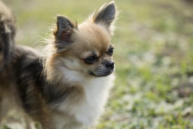 耳が少し傾けて体が緊張している気持ちが現れている犬