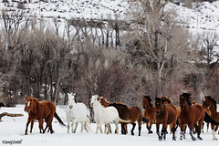 A mixed herd of wild and domesticated horses frolics on the Ladder Livestock ranch, at the Wyoming-Colorado border. Original image from Carol M. Highsmith's America, Library of Congress collection. Digitally enhanced by rawpixel.