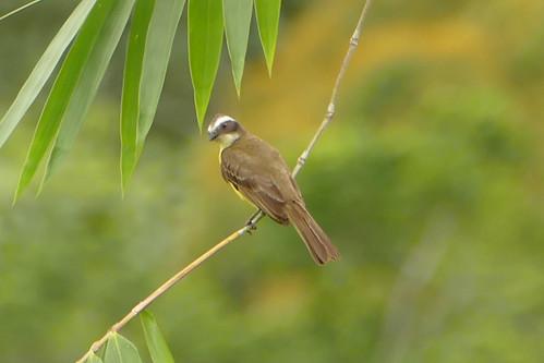 fauna permatree ecuador bird
