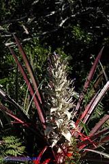 Bromelia antiacantha Bertol.