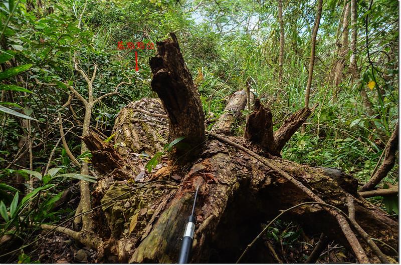 留佐屯山西峰森林三角點旁大倒木