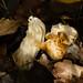 White saddle fungus, Perton