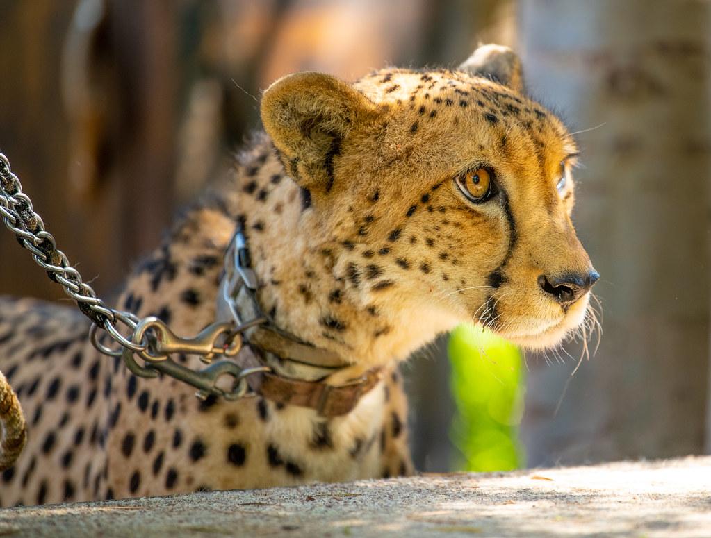 _Cheetah_2