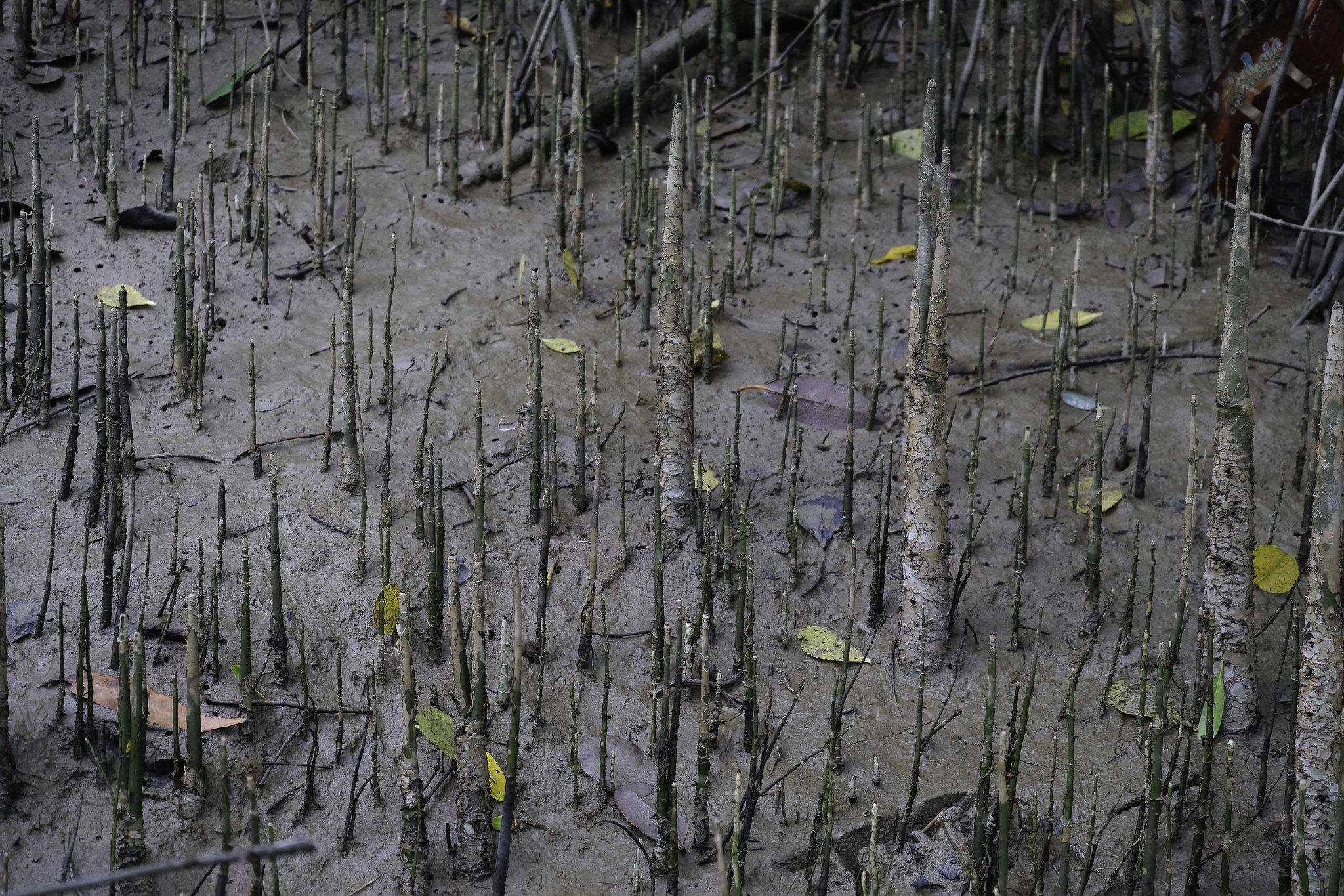 freda_mangroven